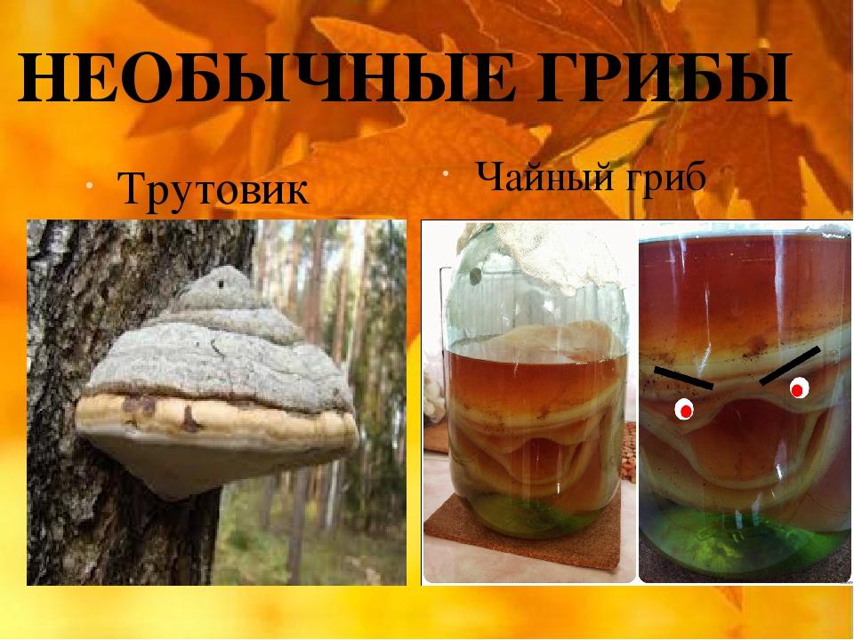 НЕОБЫЧНЫЕ ГРИБЫ Трутовик Чайный гриб