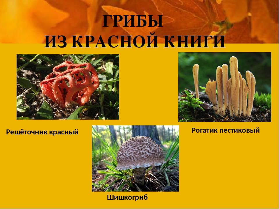 ГРИБЫ ИЗ КРАСНОЙ КНИГИ Решёточник красный Шишкогриб Рогатик пестиковый