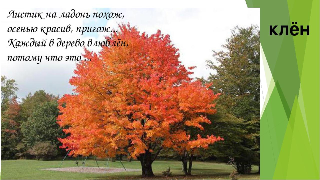 Листик на ладонь похож, осенью красив, пригож... Каждый в дерево влюблён, по...