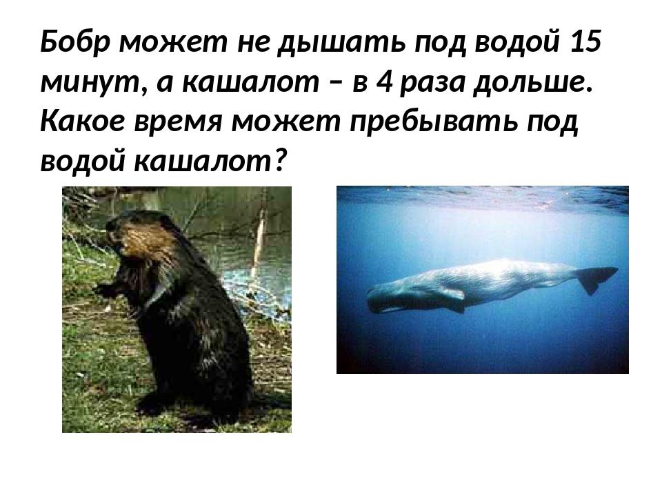 Бобр может не дышать под водой 15 минут, а кашалот – в 4 раза дольше. Какое в...