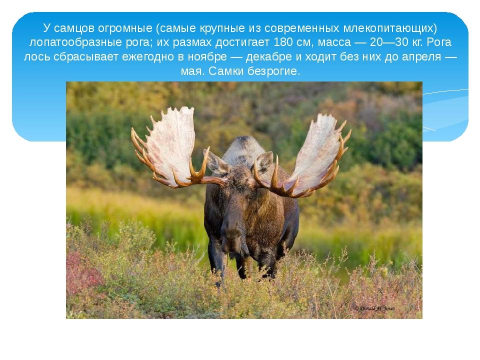 У самцов огромные (самые крупные из современных млекопитающих) лопатообразные...