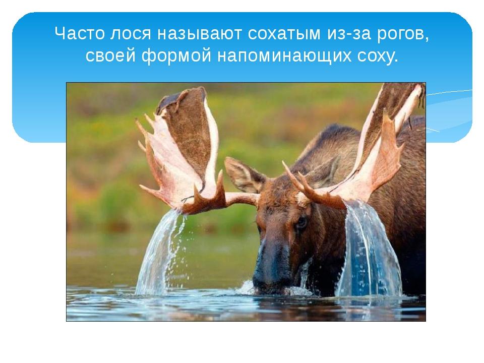 Часто лося называют сохатым из-за рогов, своей формой напоминающихсоху.