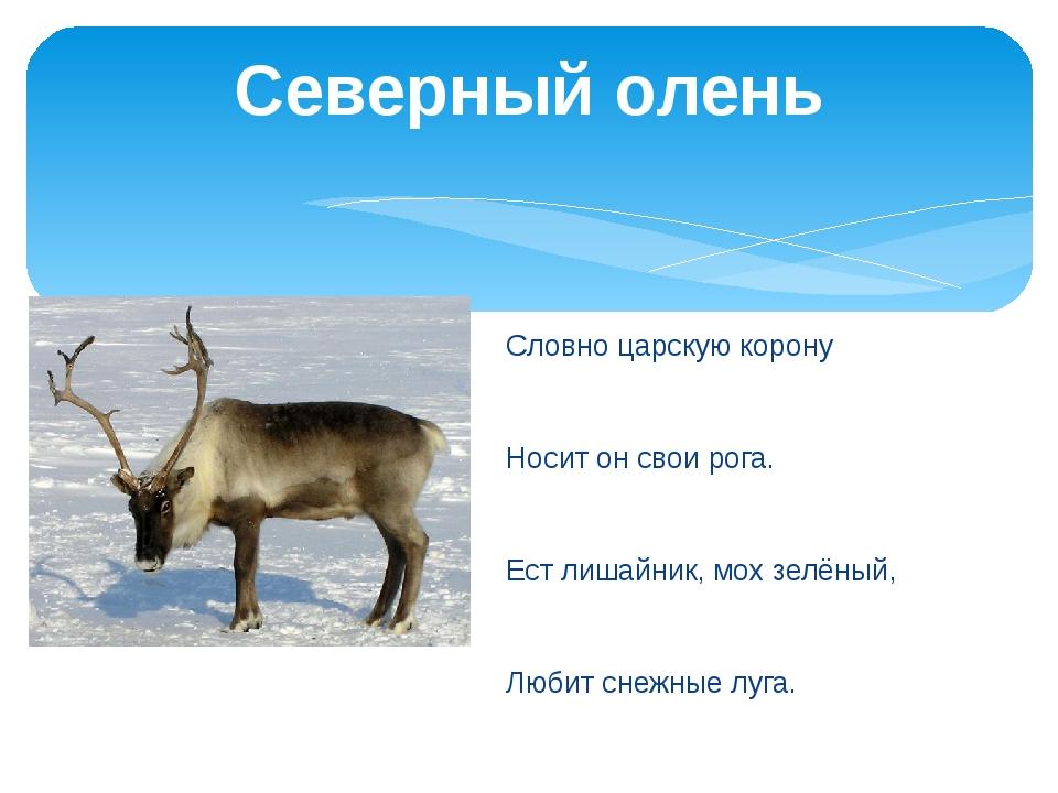 Северный олень Словно царскую корону Носит он свои рога. Ест лишайник, мох зе...