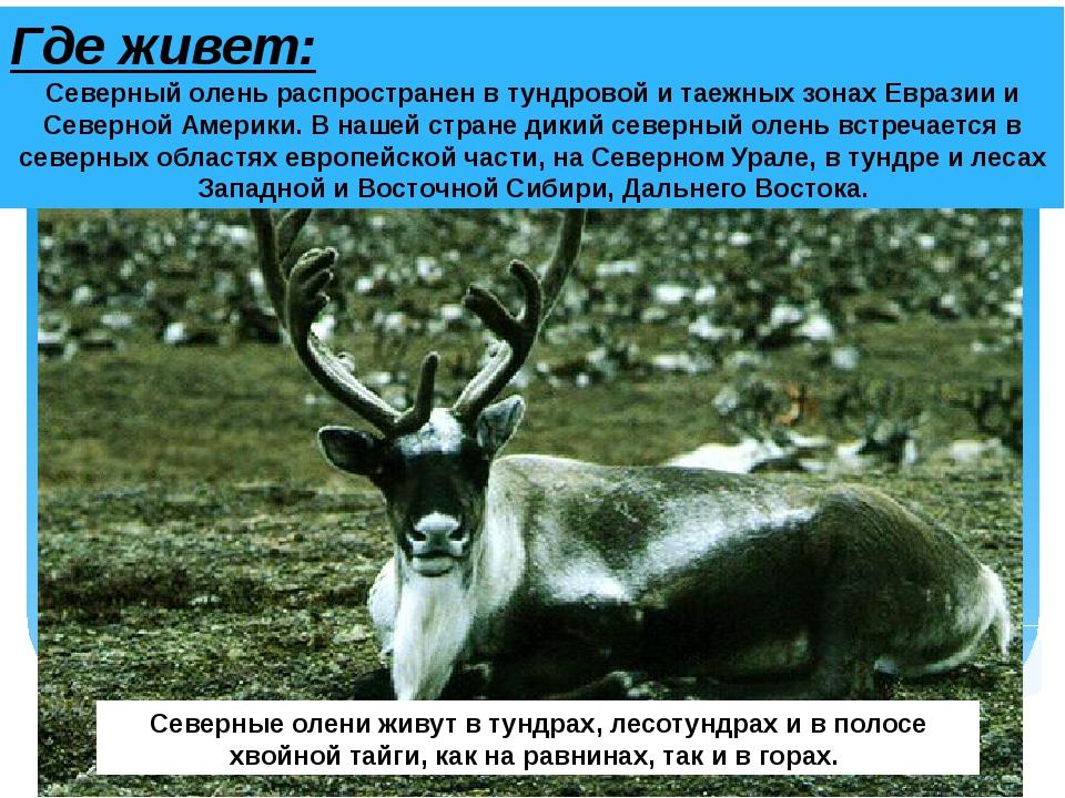 Где живет: Северный олень распространен в тундровой и таежных зонах Евразии и...