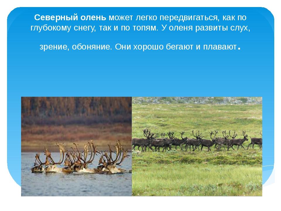 Северный оленьможет легко передвигаться, как по глубокому снегу, так и по то...