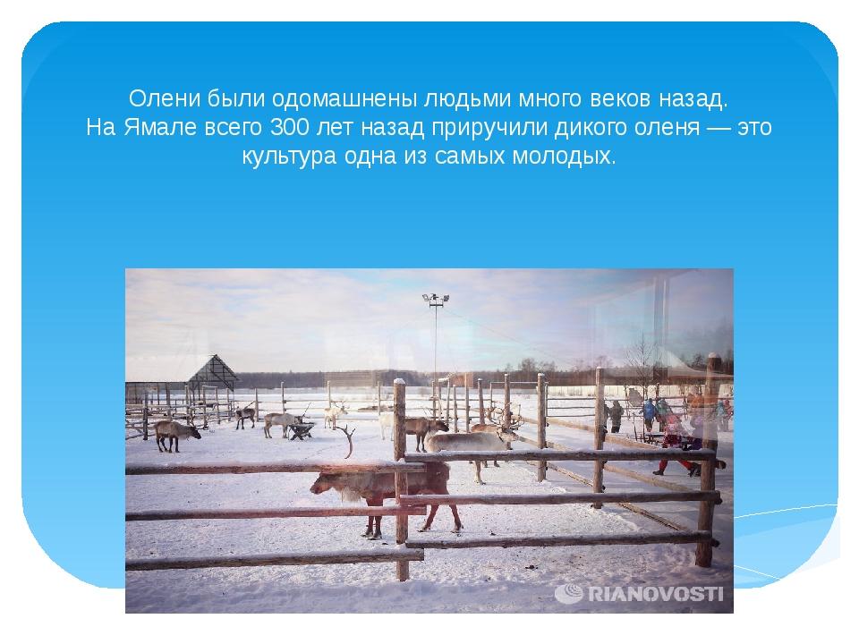 Олени были одомашнены людьми много веков назад. На Ямале всего 300 лет назад...