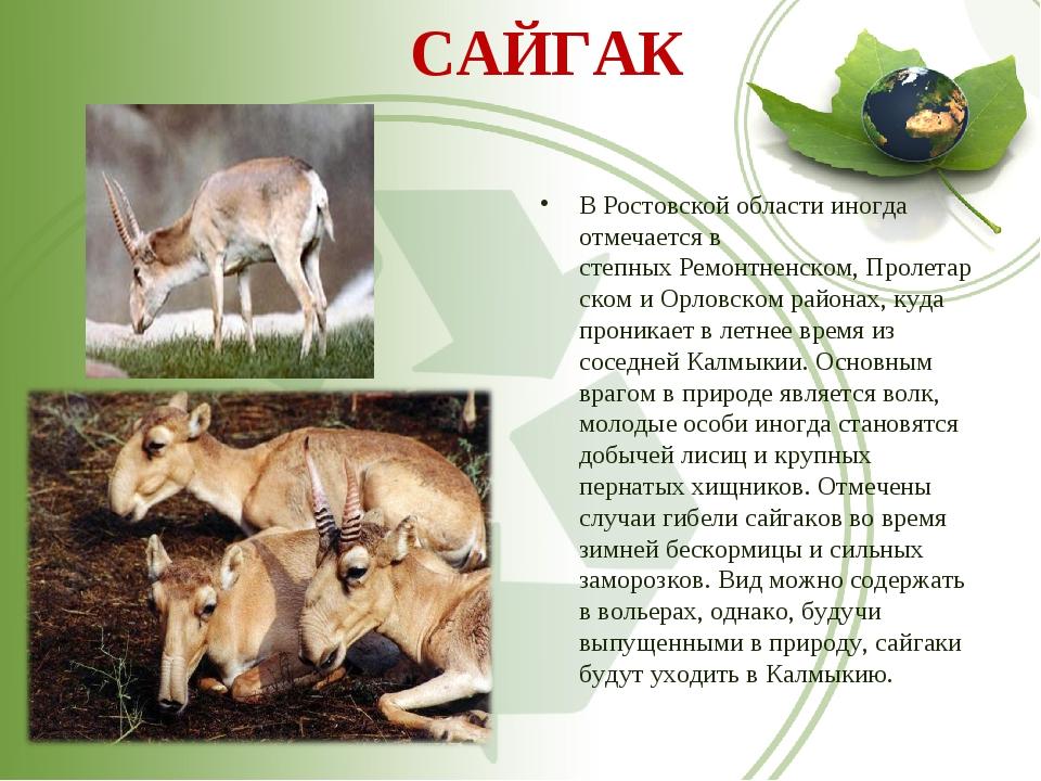 САЙГАК В Ростовской области иногда отмечается в степныхРемонтненском,Пролет...