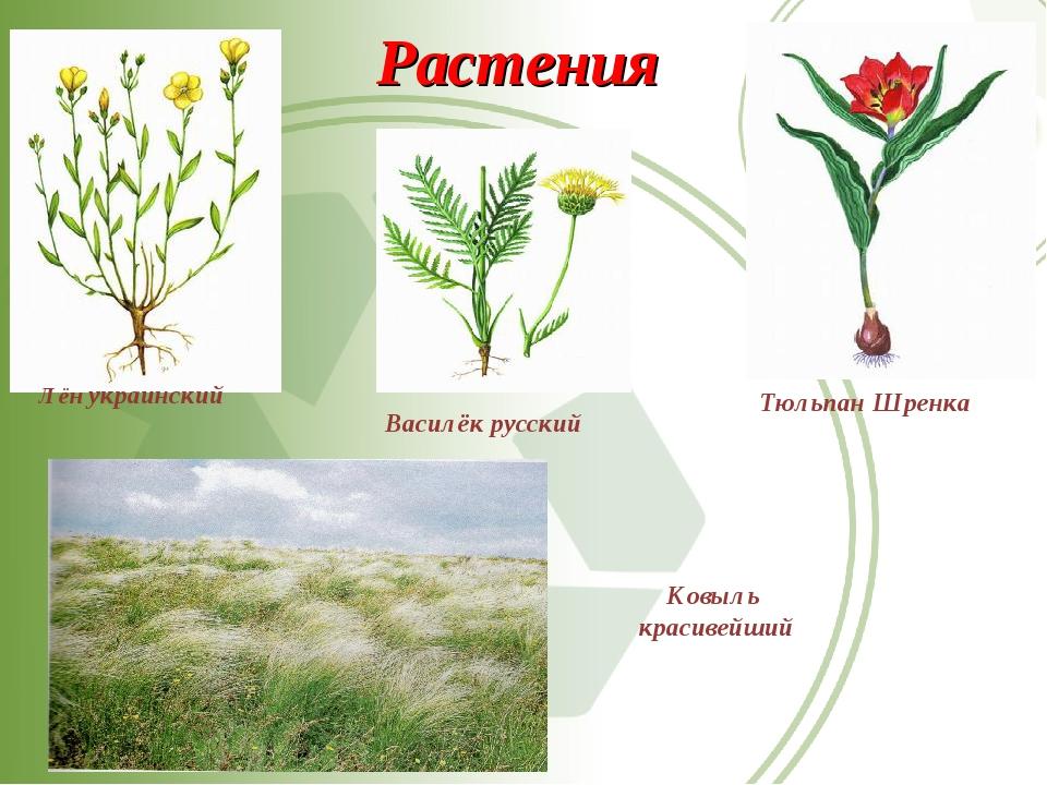 Растения Василёк русский Тюльпан Шренка Лён украинский Ковыль красивейший